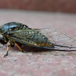 Billions of Buzzing Cicadas Are Emerging in the U.S.